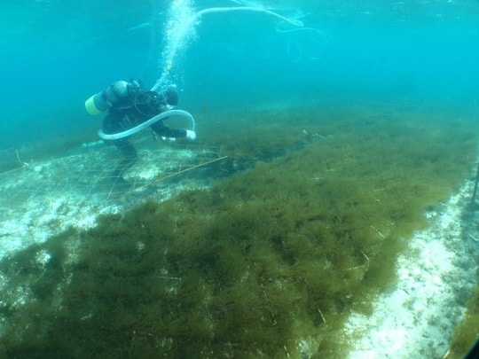 Fucoidan có trong tảo nâu nhật bản