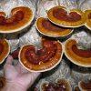 Nấm linh chi ganoderma lucidum 3